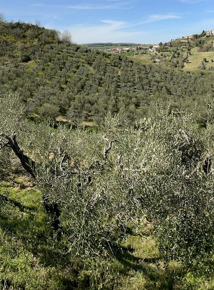 Olive_2
